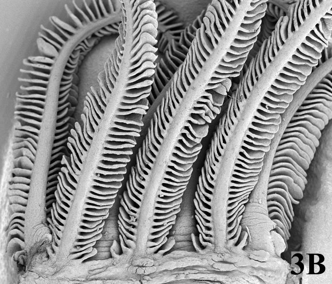 Example of SEM: fish gills