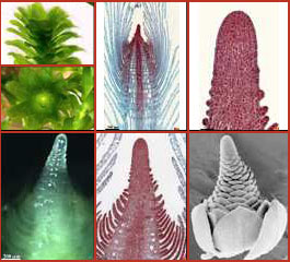 Monocots: leaf formation