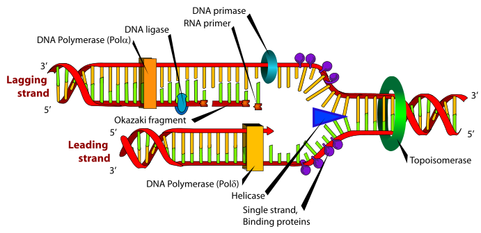 schematic representation of DNA replication zoom