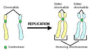 describe the relationship and distinguish between chromatin chromosomes chromatids