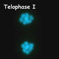 meiose: telofase I in Petunia