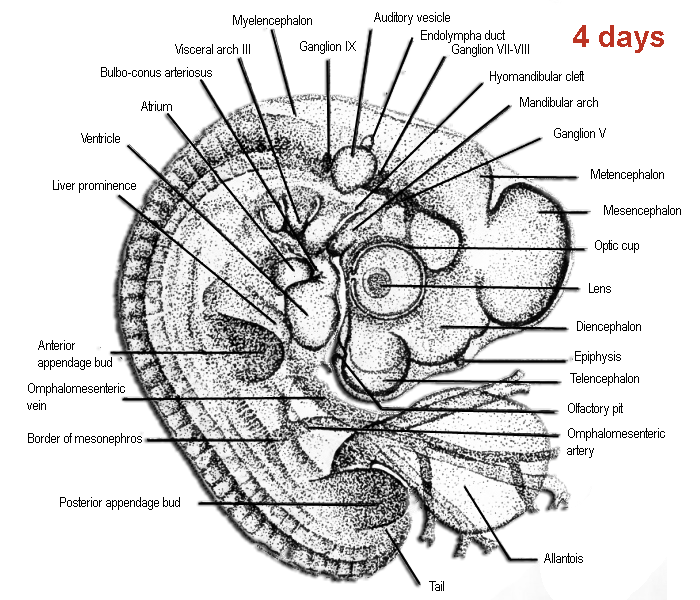 Schematic drawing of the morphology of a chicken embryo after 4 days incubation, according to Patten, 1920