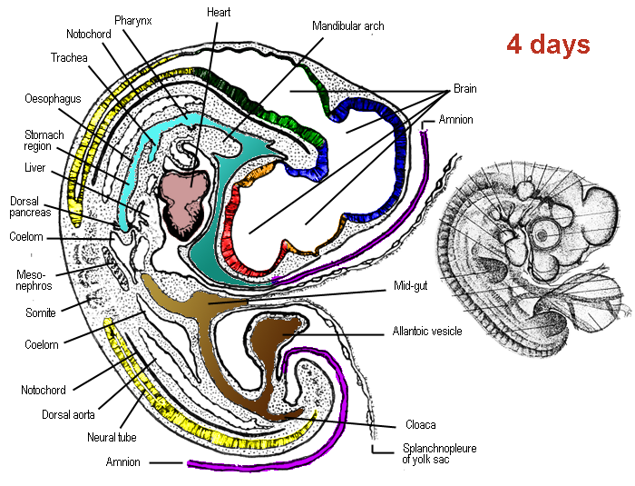 Schematic drawing of the anatomy of a chicken embryo after 4 days incubation, according to Patten, 1920