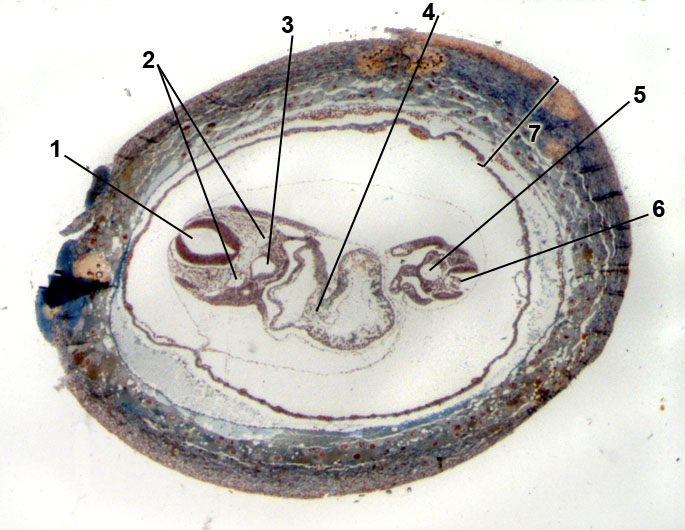 embryo of mouse; 9 days old