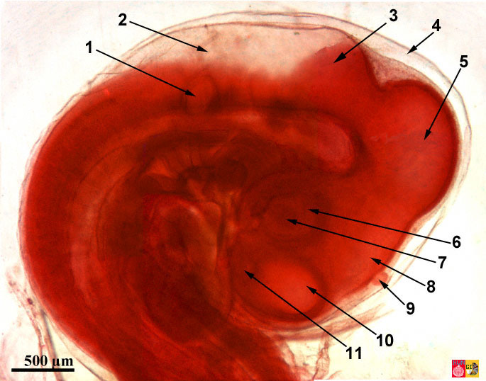 Detail of the embryology of chicken; head 72 hours after fertilization