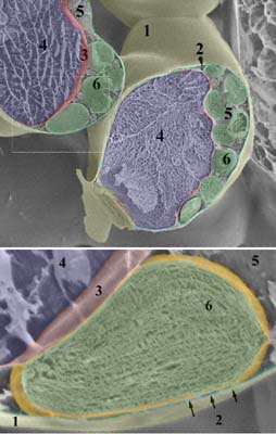 SEM view of fractured sponge parenchyma cells with chloroplasts