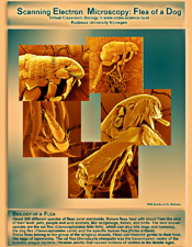 poster images of a flea taken with an electron microscope