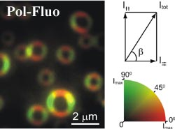 Polarization Fluorescence microscopy of porphyrin rings