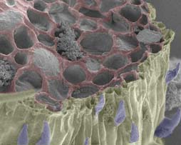 SEM view of a fracture through a leaf vein