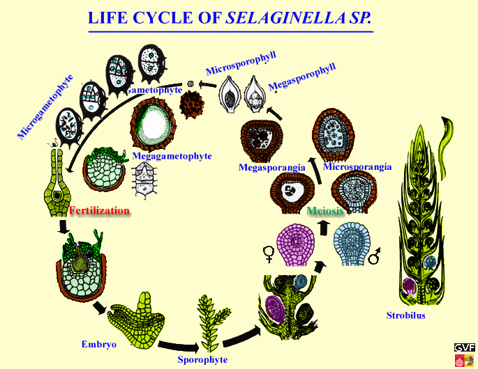 life cycle of Selaginella