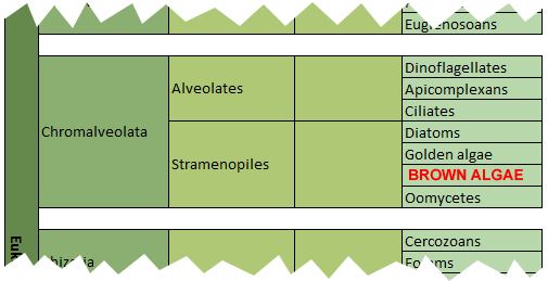 classification brown algae