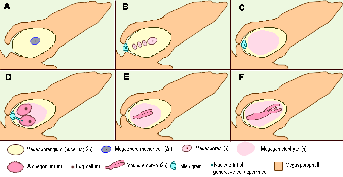 4562228 in addition Diagram Fase Etanol besides Drawing Meiosis in addition Pterophyta together with Gymnosperma. on meiosis diagram labeled