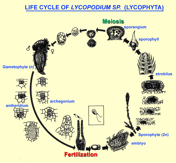 Life Cycle Of Lycopodium Clubmoss And Selaginella
