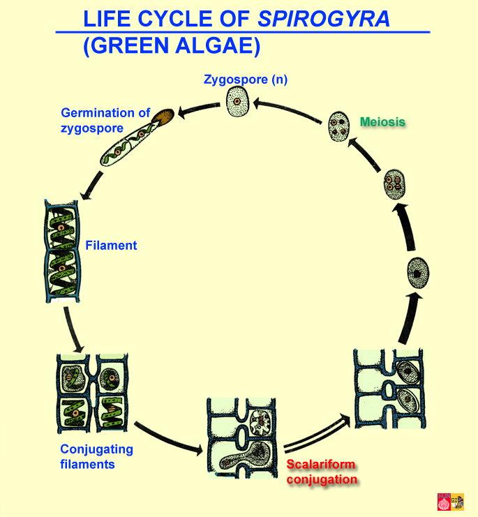 Green algae charophytae life cycle of spirogyra ccuart Images