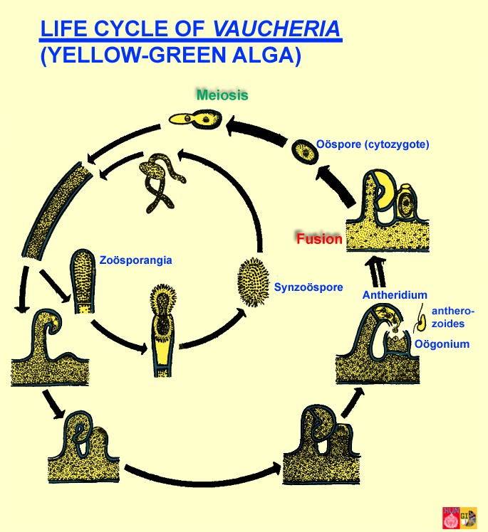 Life cycle of Vaucheria