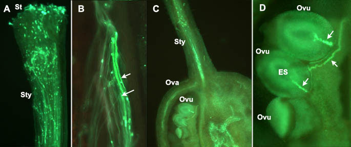Fluorescence microscopy of the growth of pollen tubes through the pistil in tomato