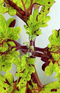 Coleus upper view