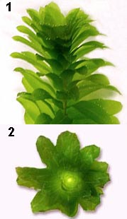 Elodea side and upper view