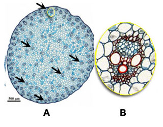 Cross section stem: A and B monocot