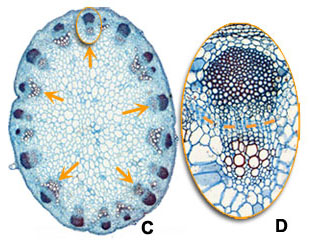 Cross section stem: C and D dicot