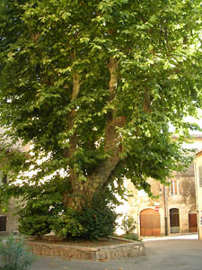 Thickening growth tree: platane