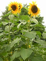 Thickening growth stem: sunflower