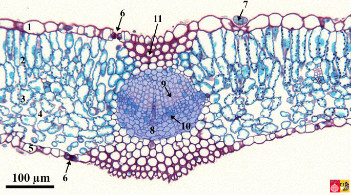 Stained cross-section through a leaf of lilac