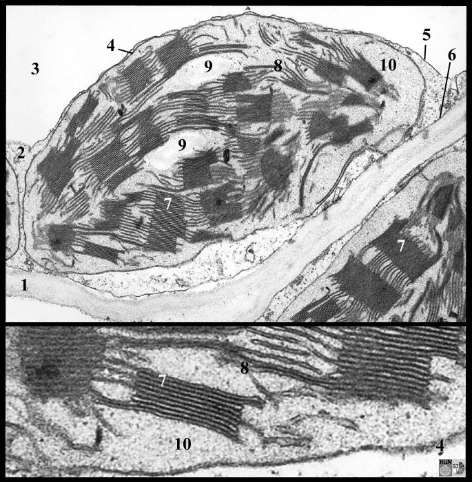 TEM image of chloroplast in  Labelled Chloroplast Micrograph